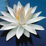 Obrázek: Vždy čistý květ lotosu.